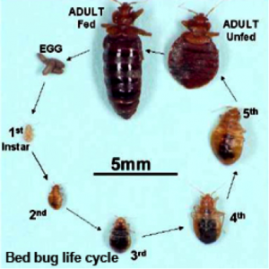 Do Bed Bugs Lay Eggs In Books