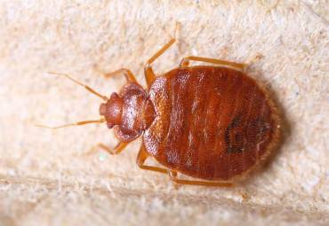 Bed Bugs and How to Exterminate Them