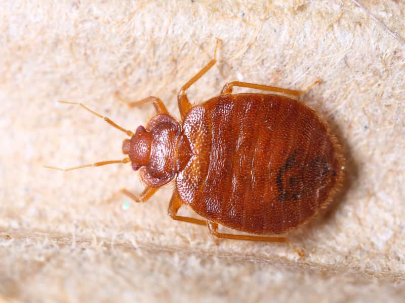 Bed-Bugs-and-How-to-Exterminate-Them.jpg