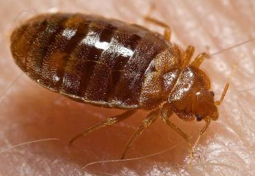 Bed Bugs Can Be Eliminated Much More Quickly Than You Might Think